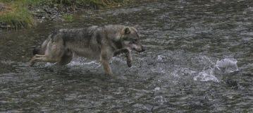 Küstenwolf jagt Lachse Lizenzfreie Stockbilder