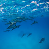 Kądziołków delfiny Zdjęcia Royalty Free