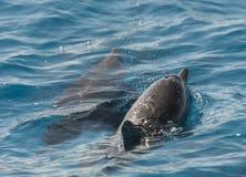 Kądziołka delfiny target240_0_ w lagunie Zdjęcia Stock