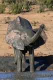 kąpać słonia błoto Obraz Stock