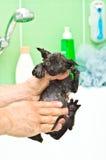 Kąpać się ślicznej małej czarnej figlarki fotografia royalty free
