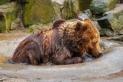 Kąpać się dużego brown niedźwiedzia zdjęcia stock