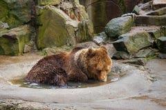 Kąpać się dużego brown niedźwiedzia w kałuży zdjęcia stock