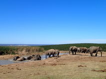 Kąpanie słonie Addo obrazy royalty free