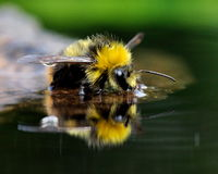 Kąpielowicza bumblebee 11 (Bombus pratorum) fotografia stock