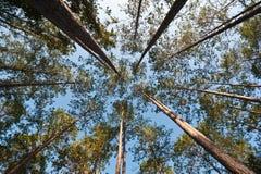 kąta sosnowy strzału drzewo szeroki Obrazy Stock