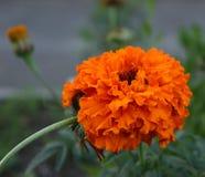 Kędzierzawa imbirowa roślina Zdjęcia Stock