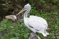 Kędzierzawy pelikan Zdjęcia Stock