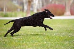 kędzierzawy pokryty aporteru pies biega outdoors fotografia stock
