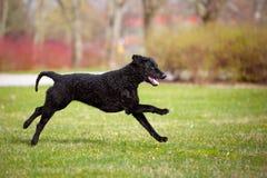 kędzierzawy pokryty aporteru pies biega outdoors fotografia royalty free
