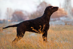 Kędzierzawy pokryty aporteru pies outdoors zdjęcia stock