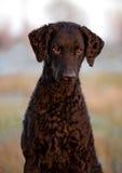 Kędzierzawy pokryty aporteru pies outdoors zdjęcie stock