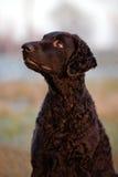 Kędzierzawy pokryty aporteru pies outdoors fotografia stock