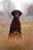 Kędzierzawy pokryty aporteru pies outdoors obrazy royalty free