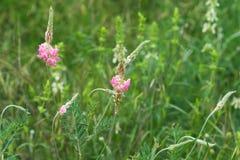 Kędzierzawy różowy dziki kwiat trawa Zdjęcie Royalty Free