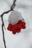 Kępa śnieg Zakrywać Halnego popiółu jagody Przeciw Szaremu tłu Obraz Royalty Free