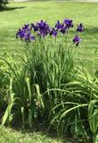 Kępa błękitni irysy r na krawędzi ogródu obrazy stock