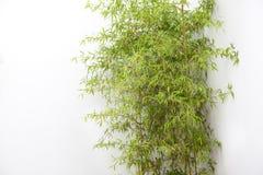 Kępa bambus fotografia stock