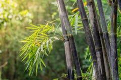Kępa czarny bambus jest gatunkami które są rzadcy Zielony bambusowy tło w naturze zdjęcie royalty free