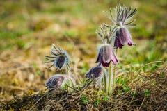 Kępa piękni wiatrowi kwiaty, łąkowy anemon fotografia stock