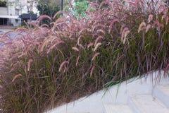 Kępa różowa trawa obraz stock