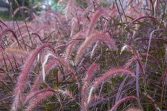 Kępa różowa trawa zdjęcie stock