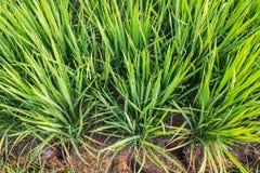Kępa ryż Zdjęcia Stock