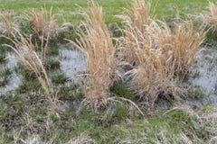 Kępa sweetgrass zdjęcia royalty free