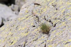 Kępa trawy dorośnięcie przez rockowego pęknięcia obrazy royalty free