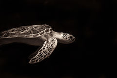 Kłótni Morza Żółw Fotografia Royalty Free