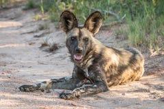 Kłaść Afrykańskiego dzikiego psa Obraz Royalty Free
