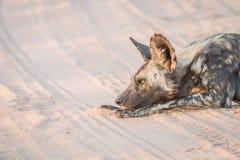 Kłaść Afrykańskiego dzikiego psa Fotografia Stock
