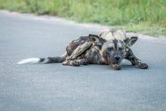 Kłaść Afrykańskiego dzikiego psa Zdjęcia Royalty Free