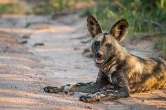 Kłaść Afrykańskiego dzikiego psa w Kruger parku narodowym, Południowa Afryka Zdjęcie Stock