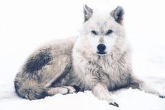 Kłaść Arktycznego wilka Zdjęcia Royalty Free