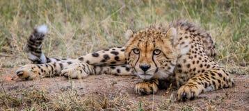 Kłaść geparda Obrazy Royalty Free