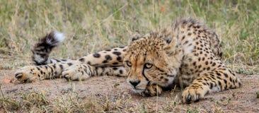 Kłaść geparda Obraz Stock