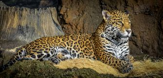 Kłaść geparda gapić się Obrazy Stock