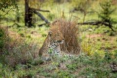 Kłaść lamparta w Kruger parku narodowym, Południowa Afryka Zdjęcie Stock