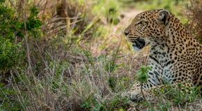 Kłaść lamparta w Kruger parku narodowym, Południowa Afryka Fotografia Royalty Free