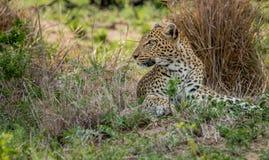 Kłaść lamparta w Kruger parku narodowym, Południowa Afryka Zdjęcia Royalty Free