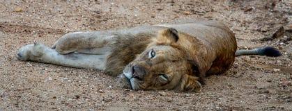 Kłaść lwa Zdjęcie Stock