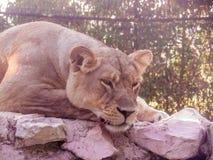 Kłaść lwicy Zdjęcie Royalty Free