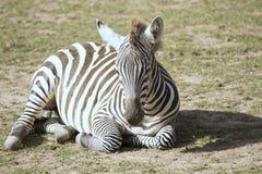 Kłamać jeden zebra równiny, Equus kwaga obrazy stock