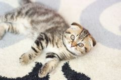 Kłapouche figlarek sztuki Szkocja kot, figlarka trochę figlarne kotku Fotografia Royalty Free