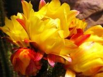 kłująca kaktusowa bonkreta zdjęcia royalty free