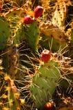 kłująca kaktusowa bonkreta Obraz Royalty Free