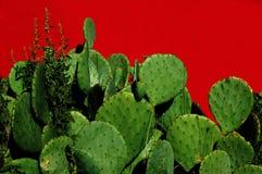 kłująca kaktusowa bonkreta Obraz Stock