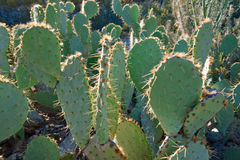 kłująca kaktusowa bonkreta Zdjęcie Royalty Free