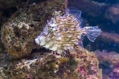 Kłująca lub tasselled skórzanej kurtki ryba rzadka tropikalna ryba od oceanu spokojnego fotografia stock